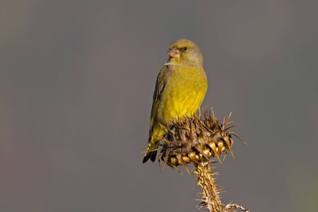 greenfinch: A male European Greenfinch (Carduelis chloris) sitting on the top of a thistle