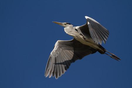 ardea cinerea: A Grey Heron Flying (Ardea cinerea) flying over Stock Photo