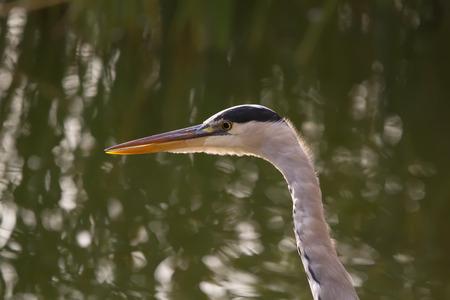 ardea cinerea: The head and beak of a Grey Heron (Ardea cinerea)