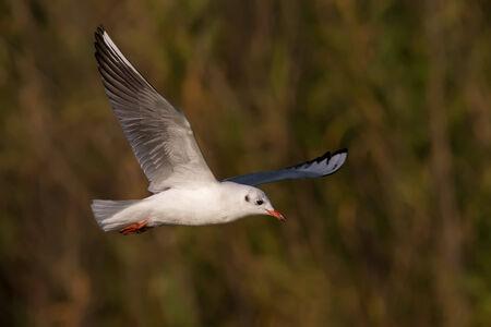 ridibundus: A Black-Headed Gull (Larus ridibundus) flying