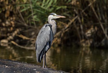 ardea cinerea: A Grey Heron (Ardea cinerea) standing still