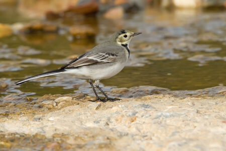 motacilla: A White Wagtail (Motacilla alba) on the ground Stock Photo