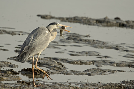 grey heron: A Grey Heron holding a large fish that just caught