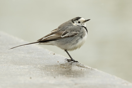 A White Wagtail (Motacilla alba) on the pavement photo