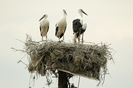 lamelligerus: A family of White Storks Ciconia Ciconia on their nest on the top of a pole