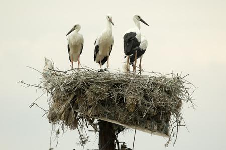 cigogne: Une famille de Cigognes blanches Ciconia Ciconia sur leur nid sur le sommet d'un poteau