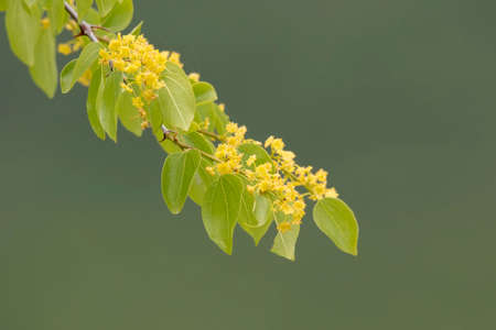 flowering: A branch of a tree full of yellow flowers