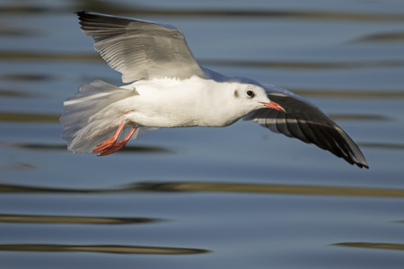 larus ridibundus: A Black-headed Gull Larus ridibundus flying over the water