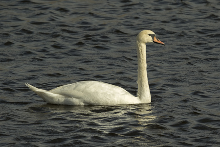 cygnus olor: A Mute Swan Cygnus olor on the water