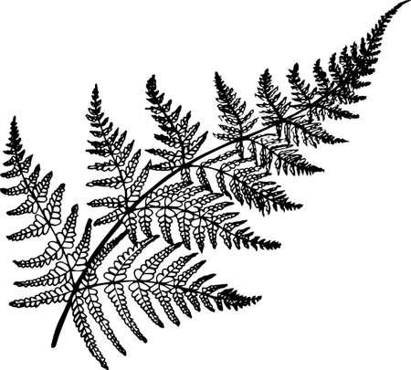 Ilustración de helecho blanco y negro. Planta antigua.
