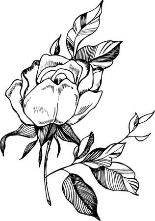 Black white rose illustration drawing of a plant in the style black white rose illustration drawing of a plant in the style of a tattoo mightylinksfo