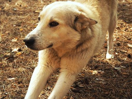 White German Sheepdog