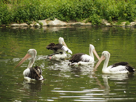 A pond with pelicans at Budapest Zoo and Botanical Garden, Hungary.