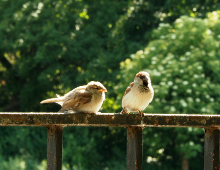 Two small sparrows gathering food on a paved walkway