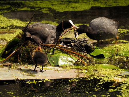 Adult Eurasian Coot and ducklings swimming and feeding on a calm still lake
