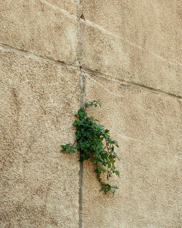 Tree growing through Cracked wall.Small tree-during the growth on cement wall.Old plaster walls cracked crack.weed growing through crack in pavement