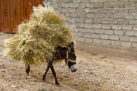 The donkey carring the heap of hay. Tajikistan