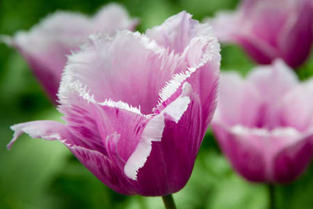 doubled: The delicate sort of violet tulips, close-up Stock Photo