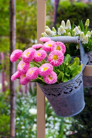 Pink daisies in the metal hanging bucket