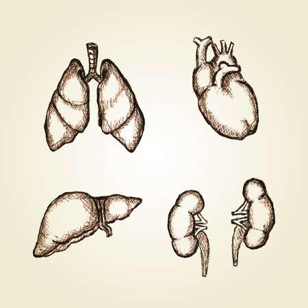 臓器心臓、肺、肝臓、腎臓のイラストをスケッチ