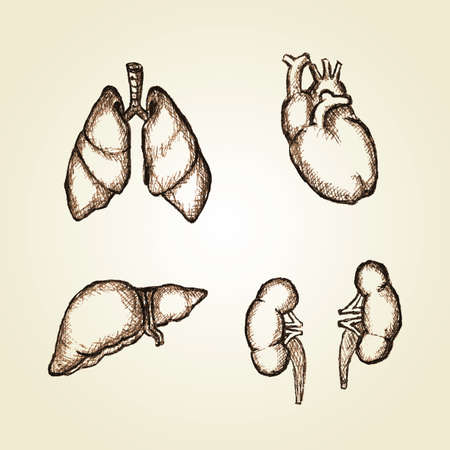 Sketching illustration of organs heart, lungs, liver and kidney Vector