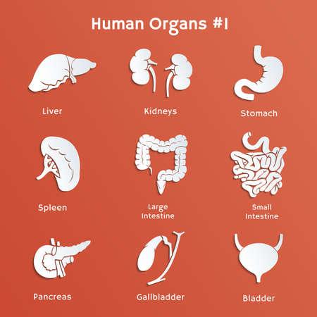 intestino grueso: Iconos vectoriales de papel de los órganos humanos internos Vectores