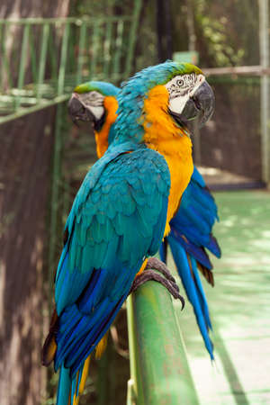 psittacidae: Two colorful big parrots sitting in row