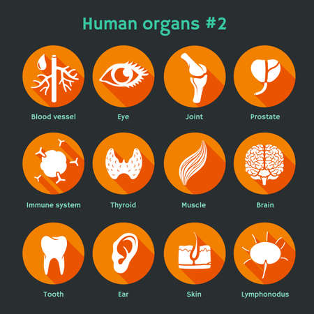 Ilustración vectorial de los iconos de los órganos y los sistemas humanos internos. Diseño plano