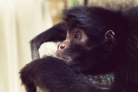 Black headed spider monkey, or Ateles fusciceps, lying on the bench. Pensive look. Close-up snapshot. Wild monkeys of tropical forests of Bolivia