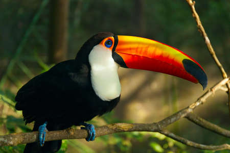 Tropical bird Toucan is sitting on the branch of tree. Jungles of South America. Ramphastos toco. Reklamní fotografie - 58868495