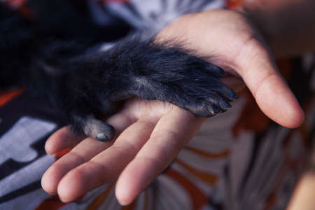 trust people: Human hand and Black Spider monkey paw. Handshake. Friendship of person and animal. Protection of endangered animals. Animals trust in people Stock Photo