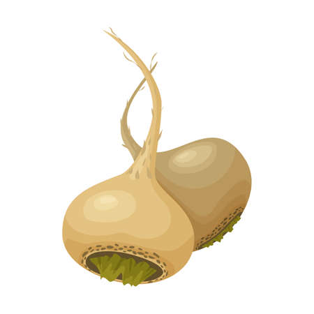 peruvian: Vector illustration of two roots of peruvian maca or lepidium meyenii. Isolated on white background. Healthy organic nutrition.