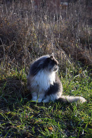 maine coon cat sitting in the grass