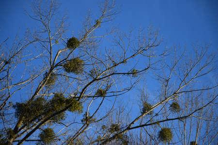 mistletoe with blue sky Stock Photo