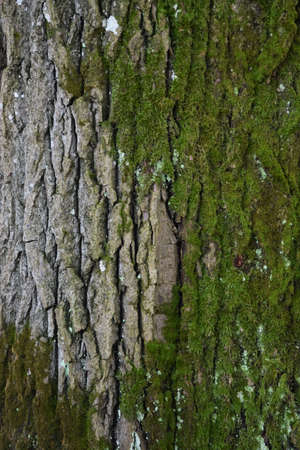 bark of an old tree with moss