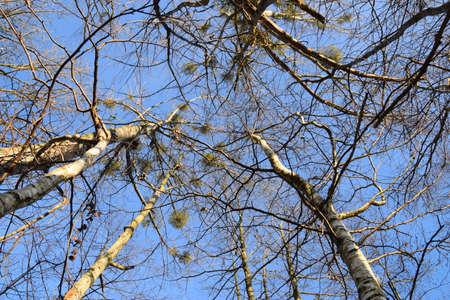 Mistletoe in front of blues sky