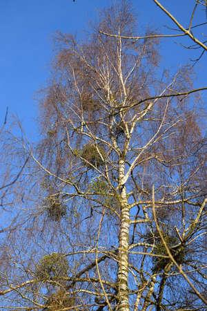 Mistletoes in a birch tree Stock Photo