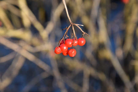 red rowan berries with dry grass