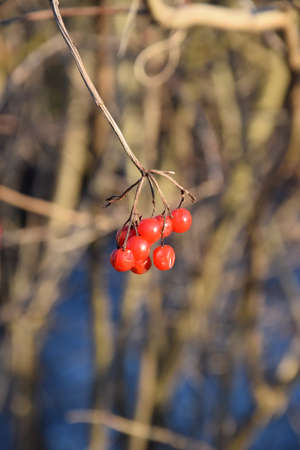 red rowan berries in front of dry grass