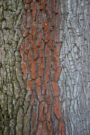 bark of an old big tree Stock Photo