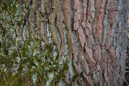 bark of an old big tree with moss