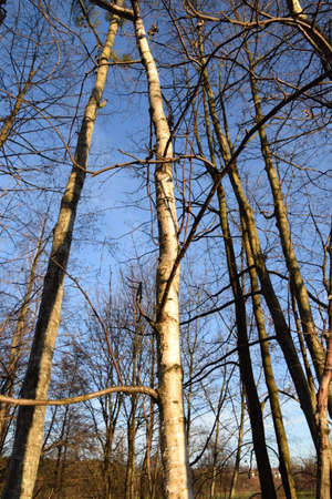 birch trees infront of blue sky