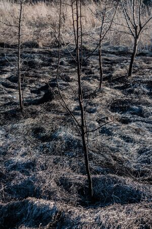 burnt young trees after a fire in a burned field. side view 版權商用圖片