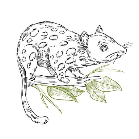 Vector stock illustration with adorable quoll with spots on the branch. Clip art in engraving vintage style isolated on white. Rare Australian animal for prints, postcards, souvenirs, tattoos. 矢量图像