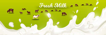 Milk farm vector illustration with grazing cows on green meadow with white splash. Agricultural farming concept with field, livestock, milk, cream. Rural horizontal banner for fresh dairy products