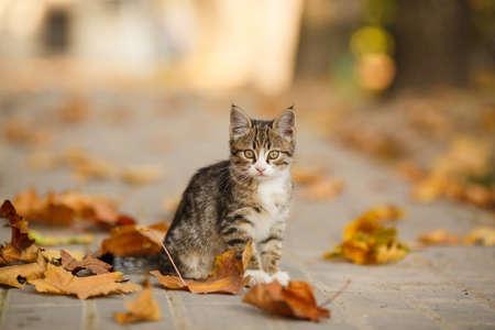 tabby kitten outdoors autumn portrait. short hair kitten cream in autumn street 版權商用圖片
