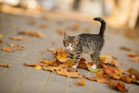 tabby kitten outdoors autumn portrait. short hair kitten cream in autumn street photo