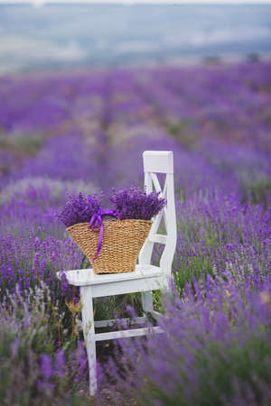 Summer,lilac blooming field of lavender,white chair with backrest stands among the flowers on the chair is brown wicker basket full of flowers of lavender,air,color and aroma of mountain lavender. photo
