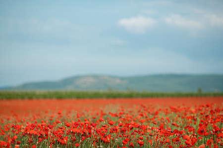 Beautiful delicate red flowers field poppy, bloom on a huge mountain meadow, on thin green stems, stir in the warm summer breeze on blue sky