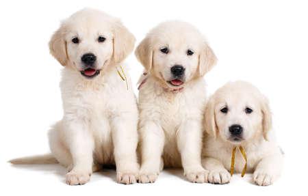 lindo: Tres cachorro blanco Labrador en el fondo blanco, Retrato de estudio de tres cachorros de raza del perro labrador blanco, con ojos negros y nariz negros, sentados juntos en un piso blanco en el estudio, posando sobre un fondo blanco Foto de archivo